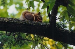 Big Red_red squirrel